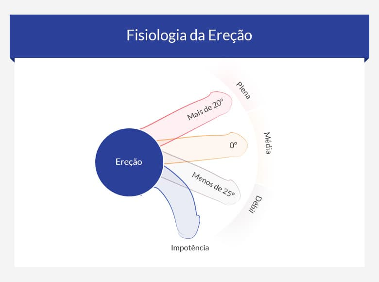 fisiologia-erecao