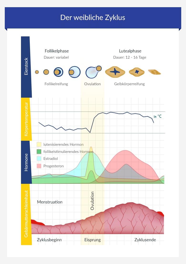 Hormonkurve zyklus